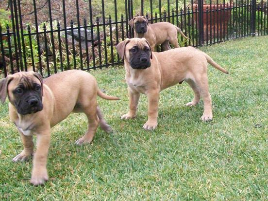 Bullmastiff Puppies for Sale - PuppyFind.com